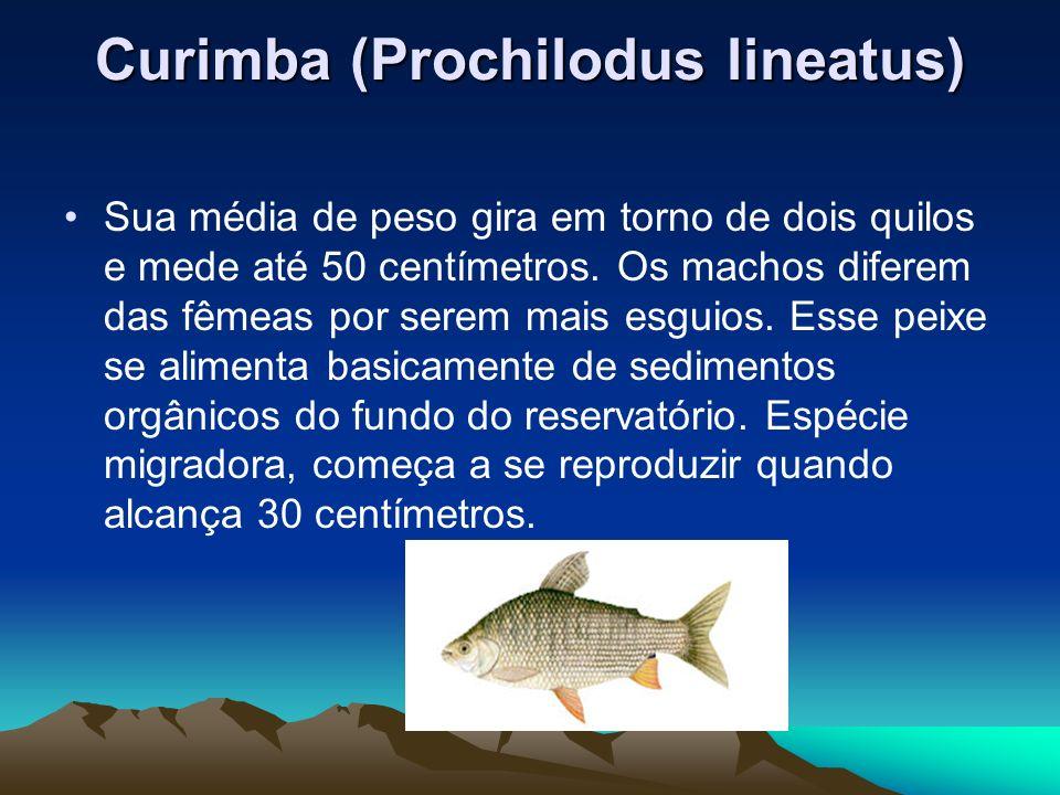 Curimba (Prochilodus lineatus) Sua média de peso gira em torno de dois quilos e mede até 50 centímetros. Os machos diferem das fêmeas por serem mais e