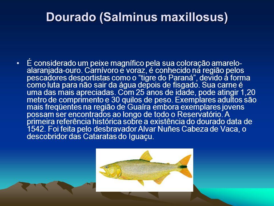 Dourado (Salminus maxillosus) É considerado um peixe magnífico pela sua coloração amarelo- alaranjada-ouro. Carnívoro e voraz, é conhecido na região p