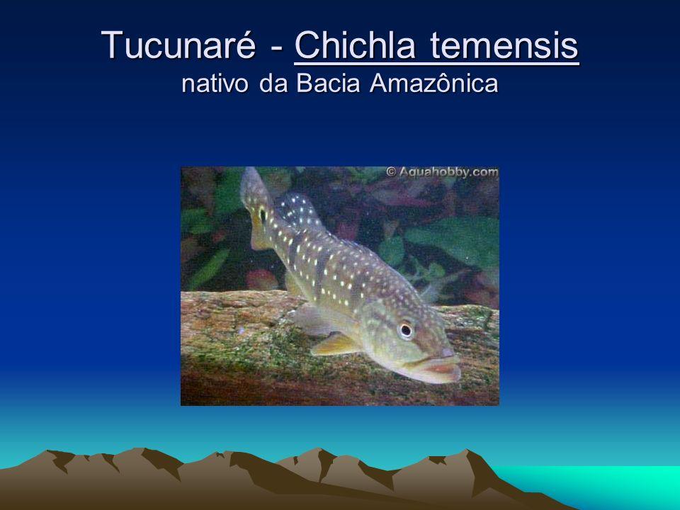 Tucunaré - Chichla temensis nativo da Bacia Amazônica