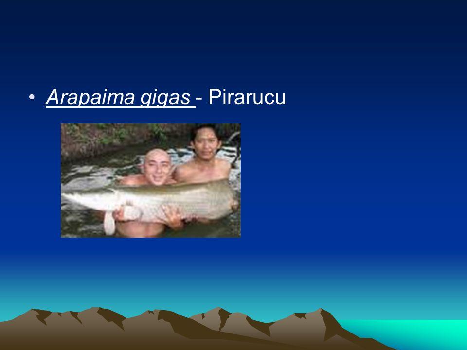 Os estoques pesqueiros da Bacia do São Francisco Os estoques pesqueiros não são tão multiformes quanto os existentes no rio Amazonas.