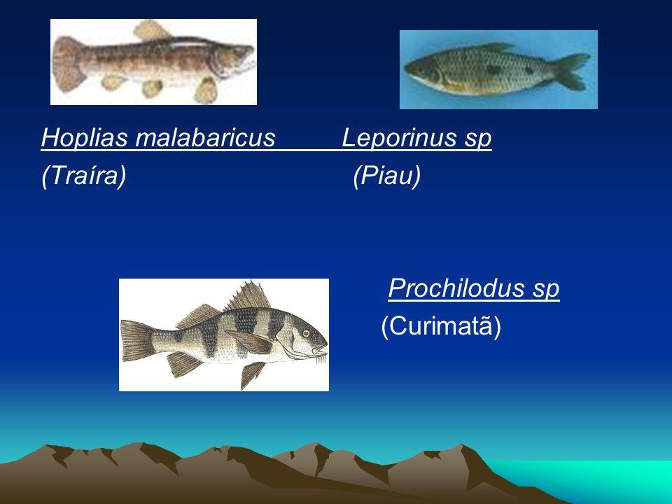Hoplias malabaricus Leporinus sp (Traíra) (Piau) Prochilodus sp (Curimatã)