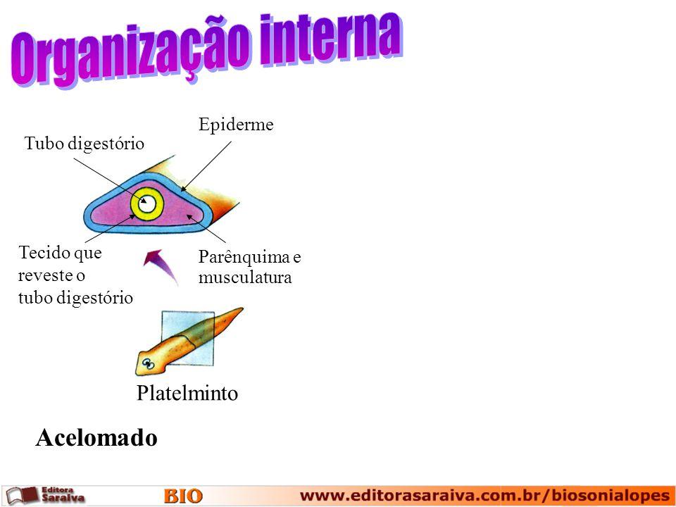 Tubo digestório Tecido que reveste o tubo digestório Epiderme Platelminto Acelomado Parênquima e musculatura