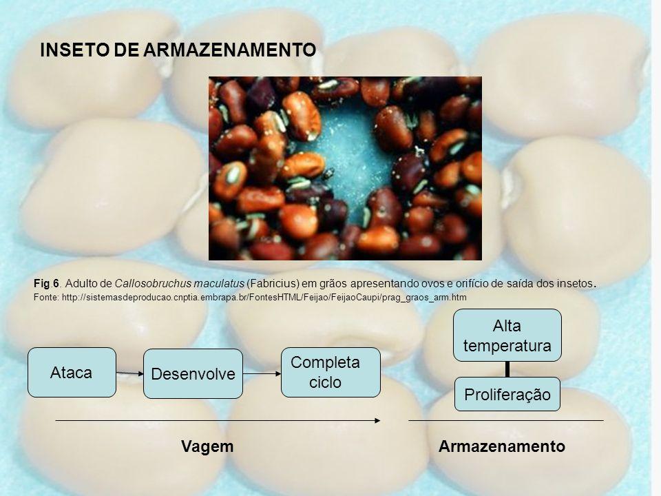 Ataca Desenvolve Vagem INSETO DE ARMAZENAMENTO Fig.6. Adulto de Callosobruchus maculatus (Fabricius) em grãos apresentando ovos e orifício de saída do