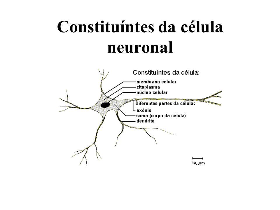 Inspiração biológica Os neurônios se comunicam através de sinapses.