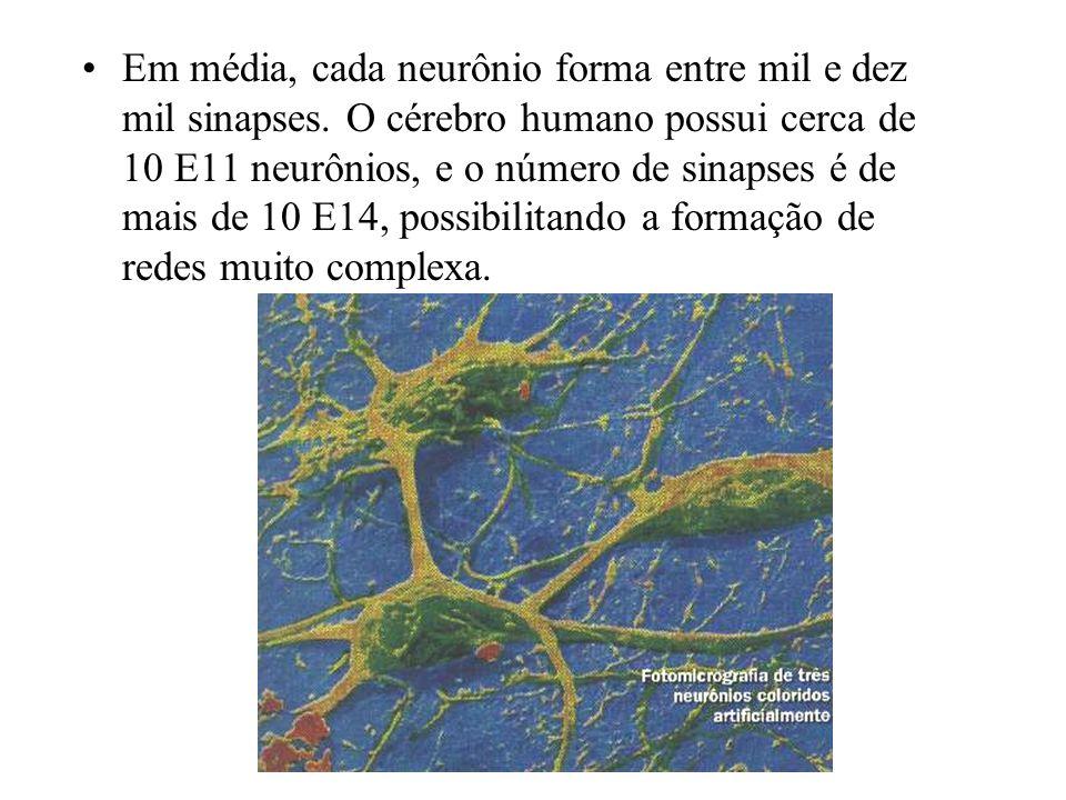 Em média, cada neurônio forma entre mil e dez mil sinapses. O cérebro humano possui cerca de 10 E11 neurônios, e o número de sinapses é de mais de 10