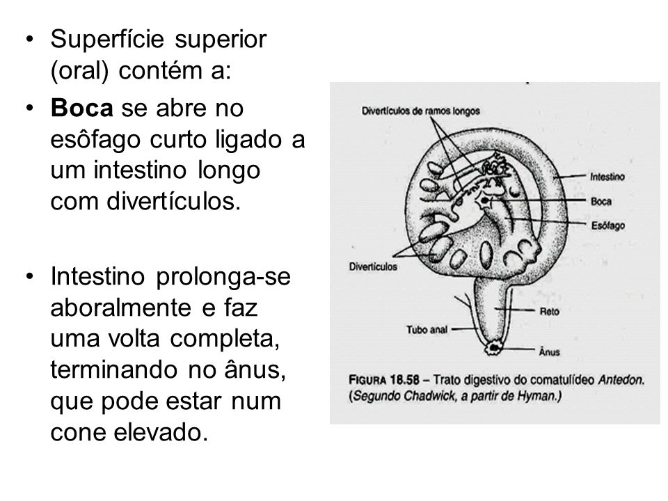 Superfície superior (oral) contém a: Boca se abre no esôfago curto ligado a um intestino longo com divertículos.