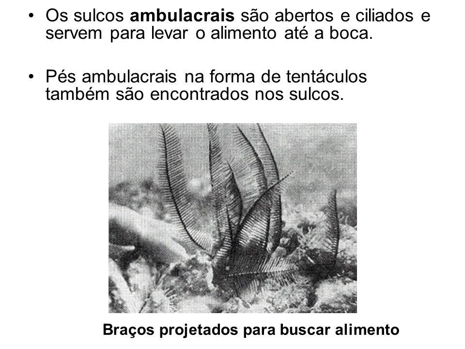 Os sulcos ambulacrais são abertos e ciliados e servem para levar o alimento até a boca.