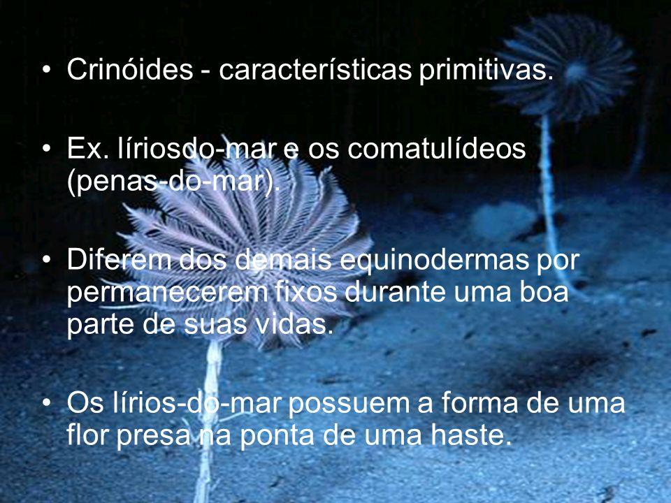 Crinóides - características primitivas.Ex. líriosdo-mar e os comatulídeos (penas-do-mar).