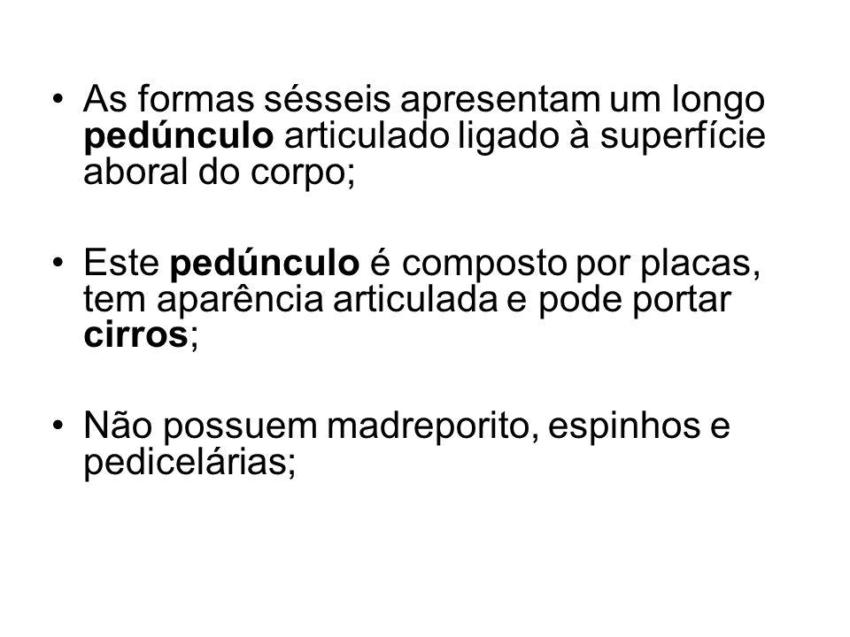 As formas sésseis apresentam um longo pedúnculo articulado ligado à superfície aboral do corpo; Este pedúnculo é composto por placas, tem aparência articulada e pode portar cirros; Não possuem madreporito, espinhos e pedicelárias;