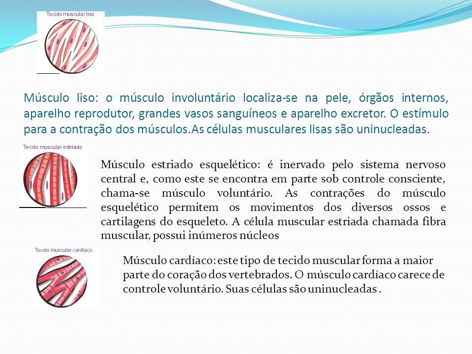 Músculo liso: o músculo involuntário localiza-se na pele, órgãos internos, aparelho reprodutor, grandes vasos sanguíneos e aparelho excretor. O estímu