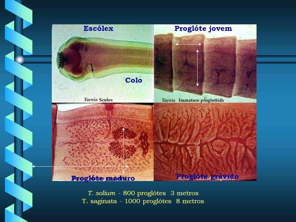 Ordem Cyclophyllidea Família Taeniidae Escólex com 4 ventosas Poros genitais laterias Ovo com embrióforo e oncosfera