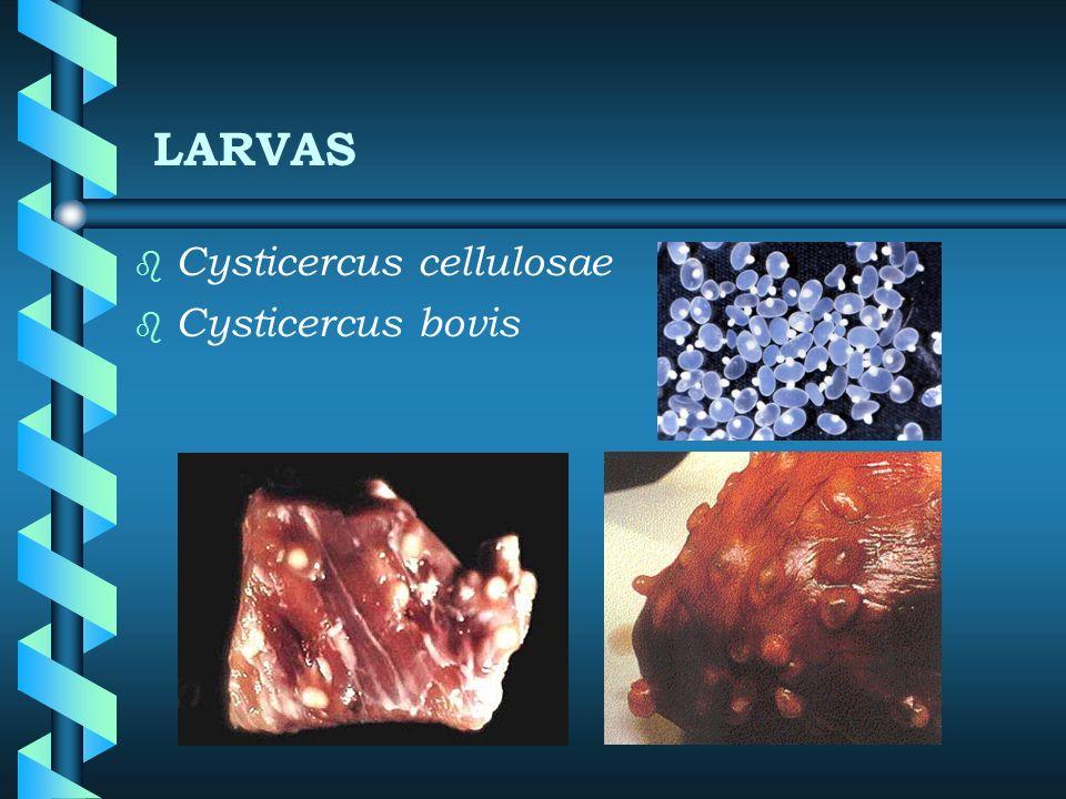 LARVAS Cysticercus cellulosae Cysticercus bovis