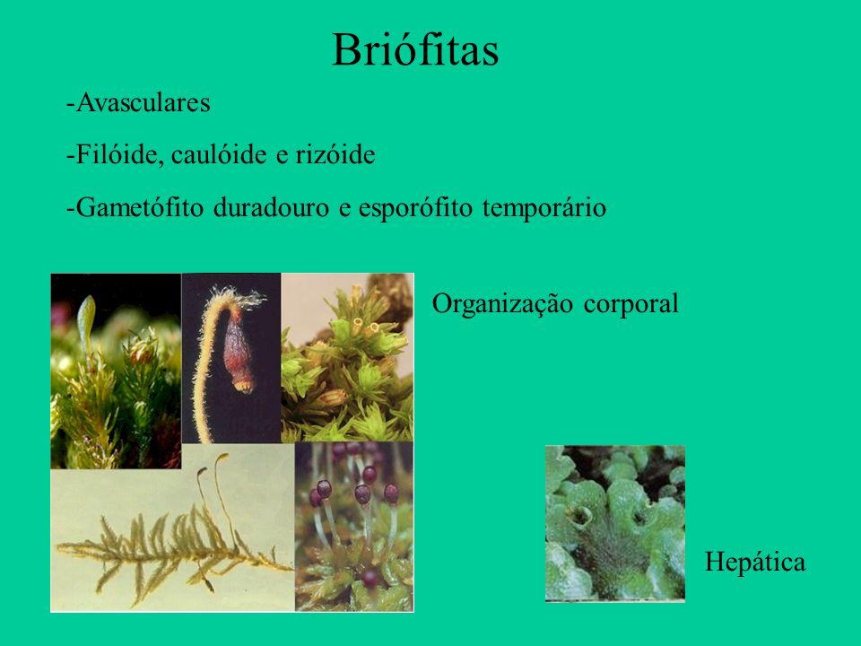 Briófitas Organização corporal Hepática -Avasculares -Filóide, caulóide e rizóide -Gametófito duradouro e esporófito temporário