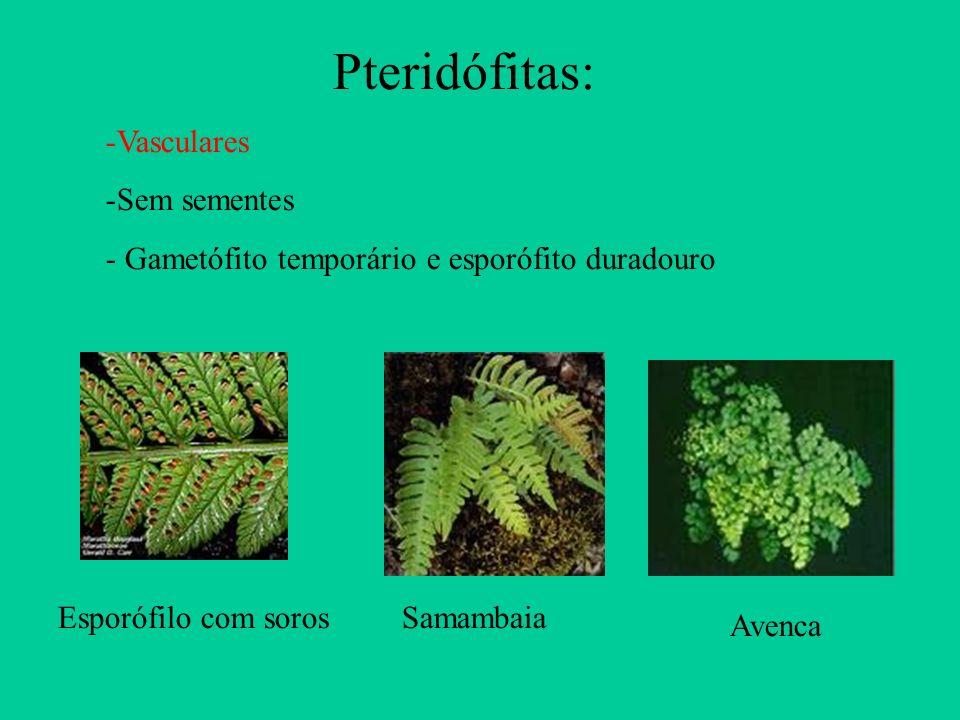 Esporófilo com sorosSamambaia Avenca Pteridófitas: -Vasculares -Sem sementes - Gametófito temporário e esporófito duradouro