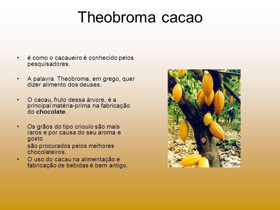 Theobroma cacao é como o cacaueiro é conhecido pelos pesquisadores. A palavra Theobroma, em grego, quer dizer alimento dos deuses. O cacau, fruto dess