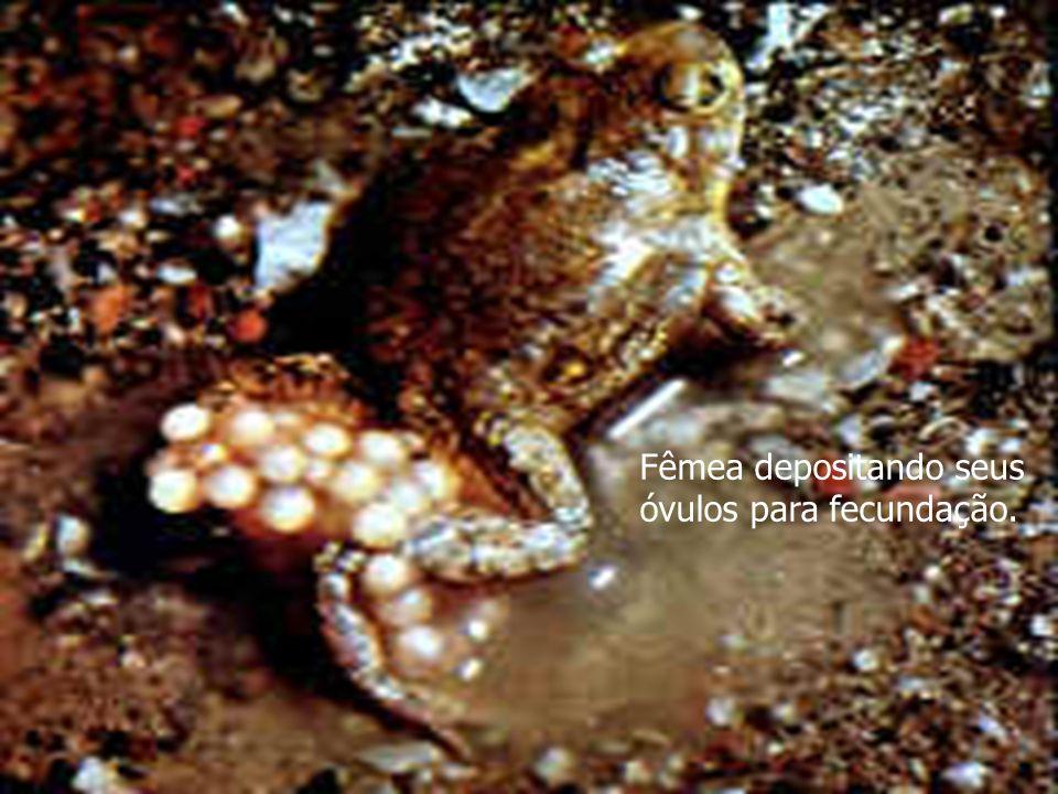 Fêmea depositando seus óvulos para fecundação.