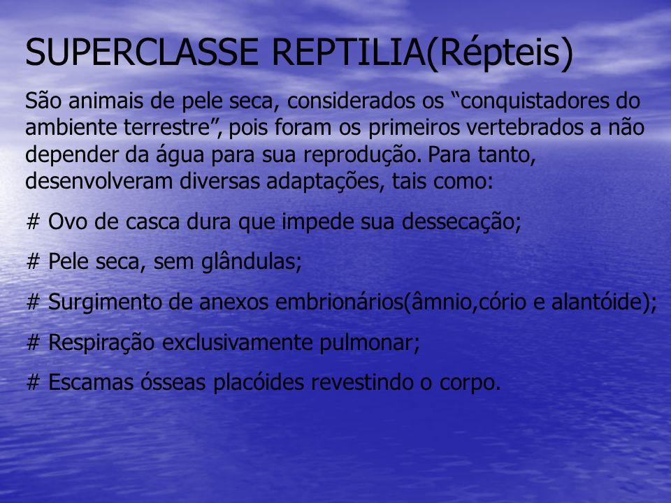 SUPERCLASSE REPTILIA(Répteis) São animais de pele seca, considerados os conquistadores do ambiente terrestre, pois foram os primeiros vertebrados a nã