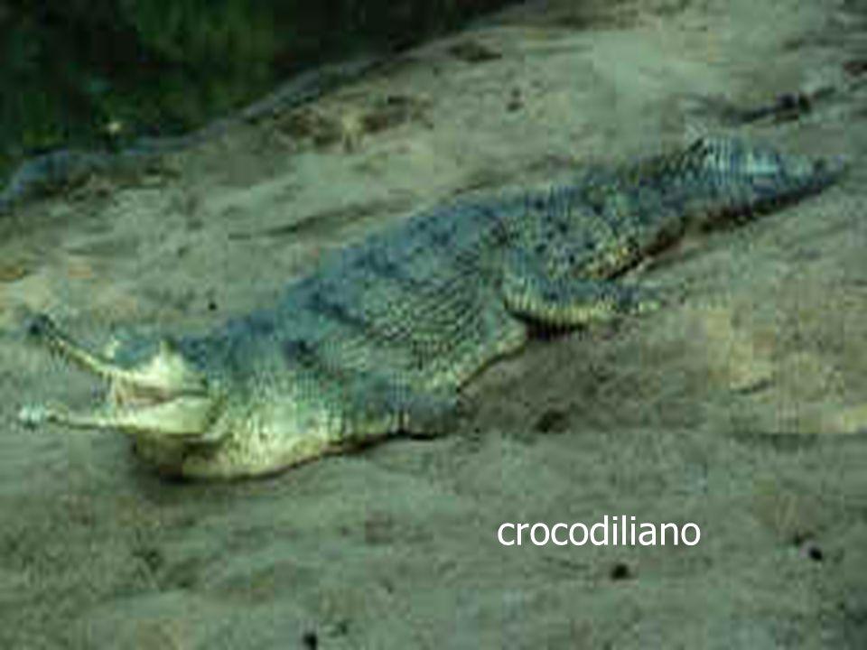 crocodiliano