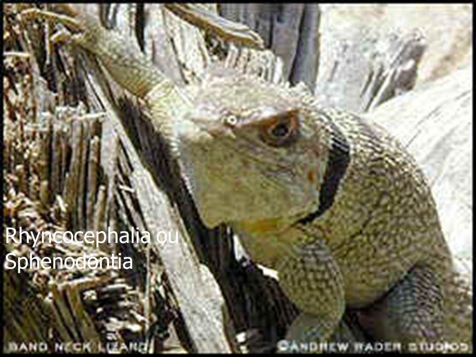 Rhyncocephalia ou Sphenodontia