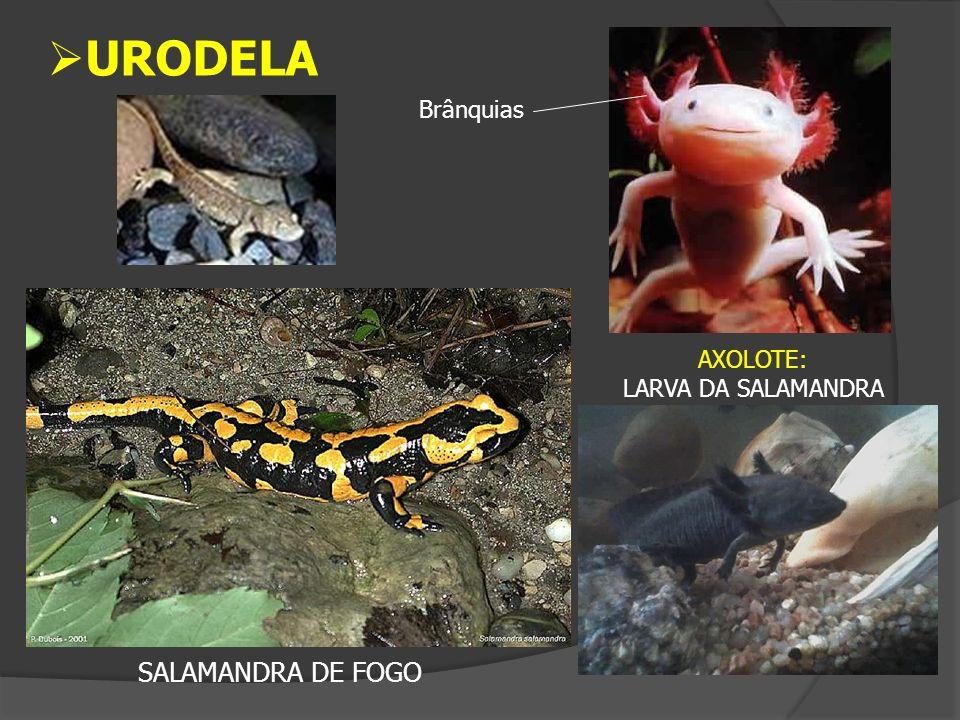 AXOLOTE: LARVA DA SALAMANDRA SALAMANDRA DE FOGO Brânquias URODELA
