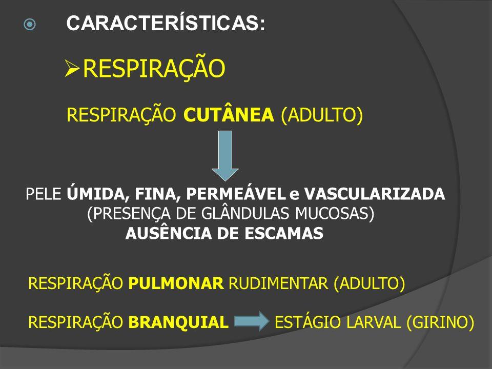 CARACTERÍSTICAS: RESPIRAÇÃO PULMONAR RUDIMENTAR (ADULTO) RESPIRAÇÃO BRANQUIAL ESTÁGIO LARVAL (GIRINO) RESPIRAÇÃO CUTÂNEA (ADULTO) PELE ÚMIDA, FINA, PE