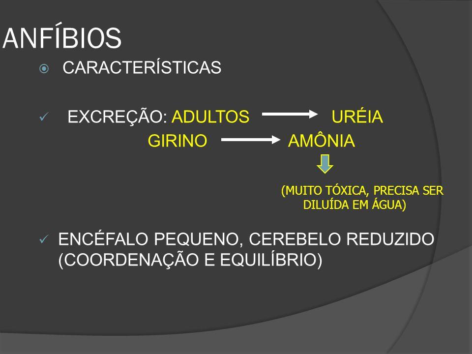 ANFÍBIOS CARACTERÍSTICAS EXCREÇÃO: ADULTOS URÉIA GIRINO AMÔNIA ENCÉFALO PEQUENO, CEREBELO REDUZIDO (COORDENAÇÃO E EQUILÍBRIO) (MUITO TÓXICA, PRECISA S