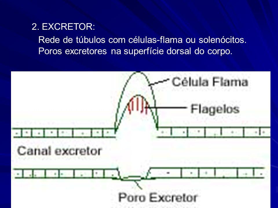 2.EXCRETOR: Rede de túbulos com células-flama ou solenócitos.