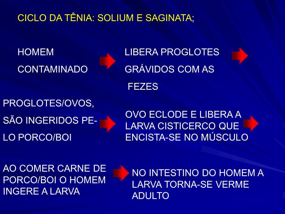 CICLO DA TÊNIA: SOLIUM E SAGINATA; HOMEM LIBERA PROGLOTES CONTAMINADO GRÁVIDOS COM AS FEZES PROGLOTES/OVOS, SÃO INGERIDOS PE- LO PORCO/BOI OVO ECLODE E LIBERA A LARVA CISTICERCO QUE ENCISTA-SE NO MÚSCULO AO COMER CARNE DE PORCO/BOI O HOMEM INGERE A LARVA NO INTESTINO DO HOMEM A LARVA TORNA-SE VERME ADULTO