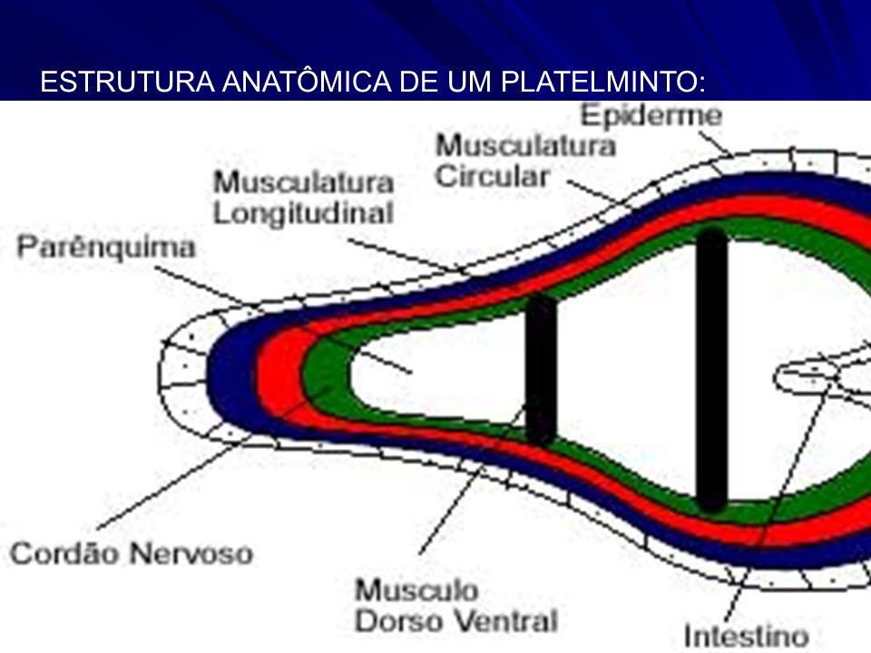 ESTRUTURA ANATÔMICA DE UM PLATELMINTO: