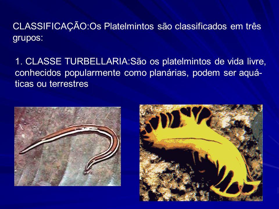 CLASSIFICAÇÃO:Os Platelmintos são classificados em três grupos: 1.CLASSE TURBELLARIA:São os platelmintos de vida livre, conhecidos popularmente como planárias, podem ser aquá- ticas ou terrestres