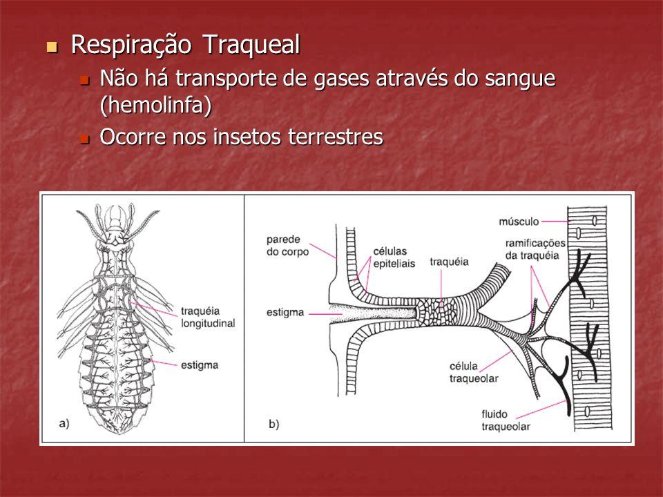Respiração Traqueal Não há transporte de gases através do sangue (hemolinfa) Ocorre nos insetos terrestres