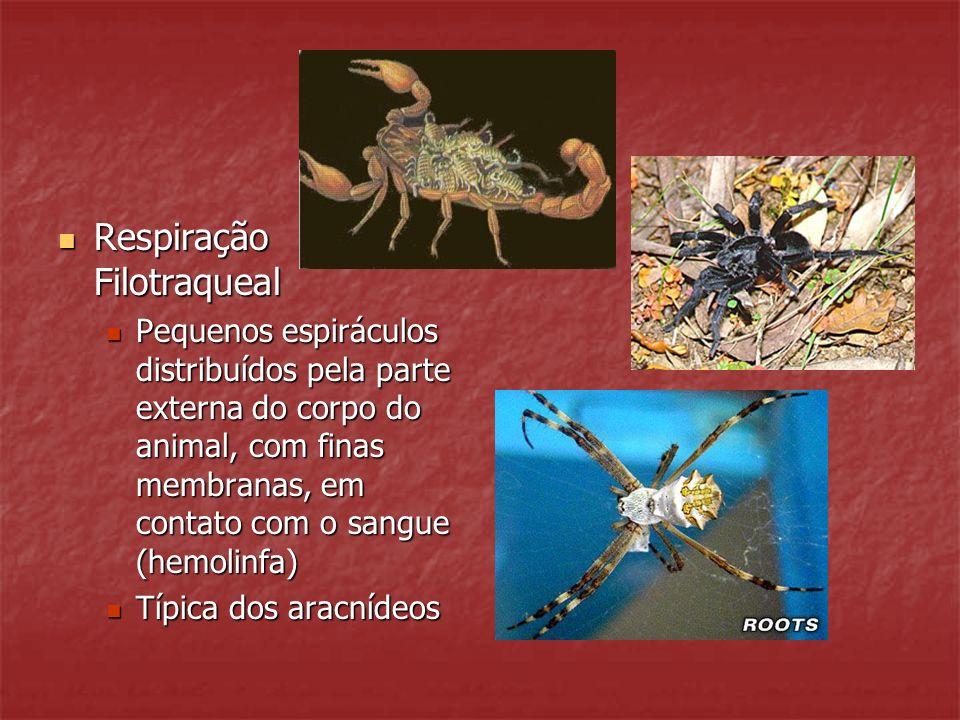 Respiração Filotraqueal Respiração Filotraqueal Pequenos espiráculos distribuídos pela parte externa do corpo do animal, com finas membranas, em conta