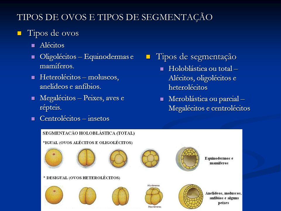 TIPOS DE OVOS E TIPOS DE SEGMENTAÇÃO Tipos de ovos Tipos de ovos Alécitos Alécitos Oligolécitos – Equinodermas e mamíferos. Oligolécitos – Equinoderma