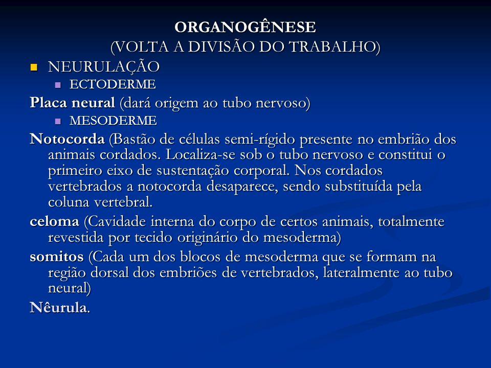 ORGANOGÊNESE (VOLTA A DIVISÃO DO TRABALHO) NEURULAÇÃO NEURULAÇÃO ECTODERME ECTODERME Placa neural (dará origem ao tubo nervoso) MESODERME MESODERME No