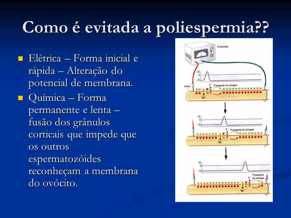 Como é evitada a poliespermia?? Elétrica – Forma inicial e rápida – Alteração do potencial de membrana. Elétrica – Forma inicial e rápida – Alteração