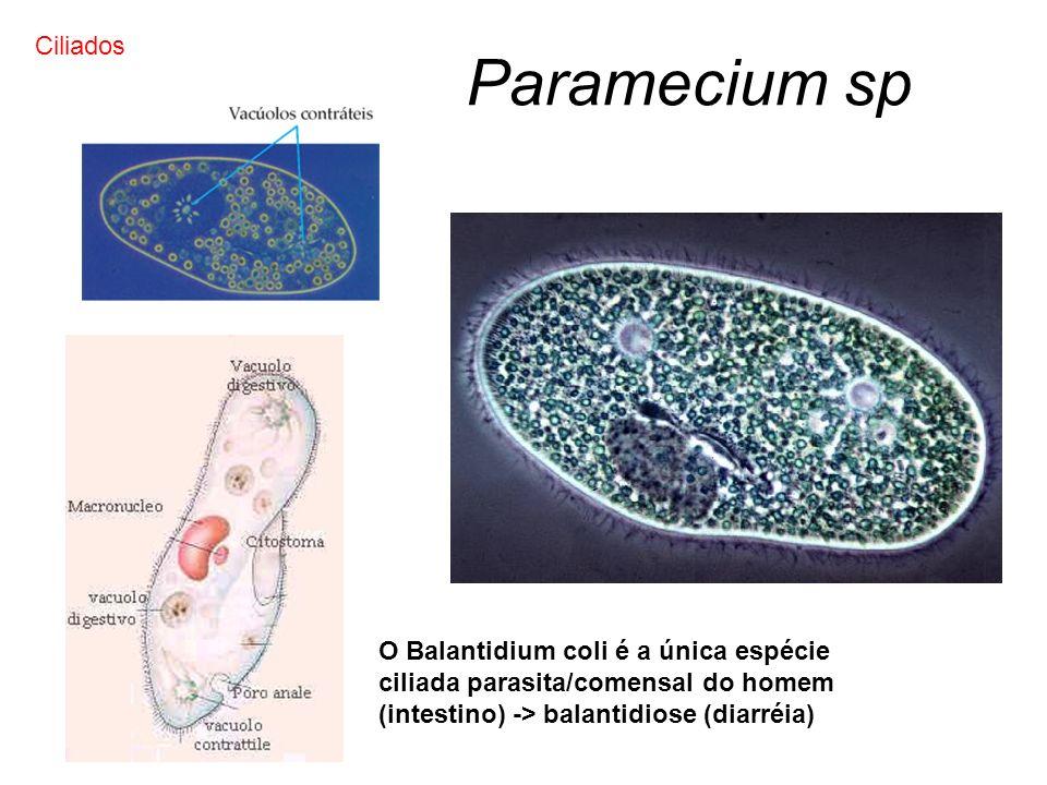 Paramecium sp Ciliados O Balantidium coli é a única espécie ciliada parasita/comensal do homem (intestino) -> balantidiose (diarréia)