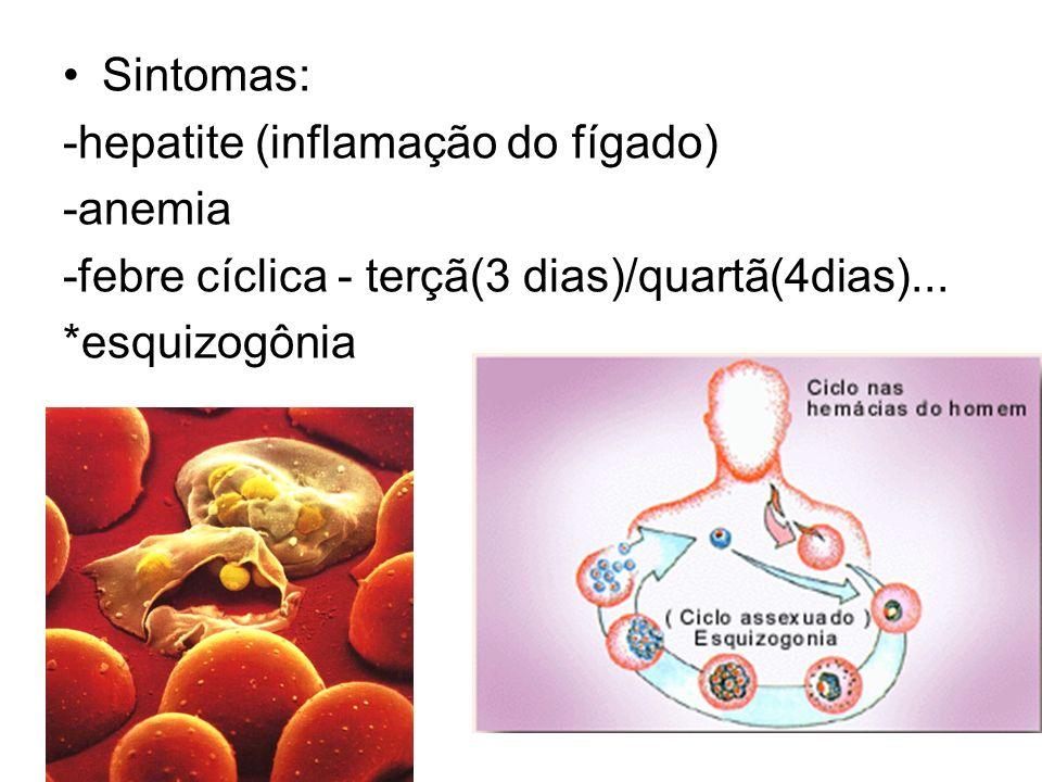 Sintomas: -hepatite (inflamação do fígado) -anemia -febre cíclica - terçã(3 dias)/quartã(4dias)... *esquizogônia