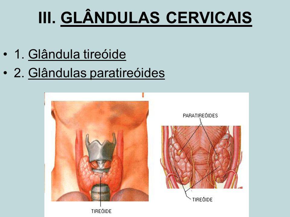 III. GLÂNDULAS CERVICAIS 1. Glândula tireóide 2. Glândulas paratireóides
