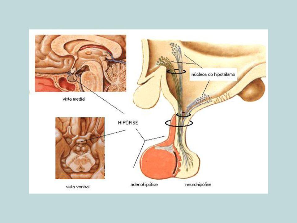 IV.GLÂNDULAS ABDOMINAIS 1. Glândulas supra-renais 1.1.