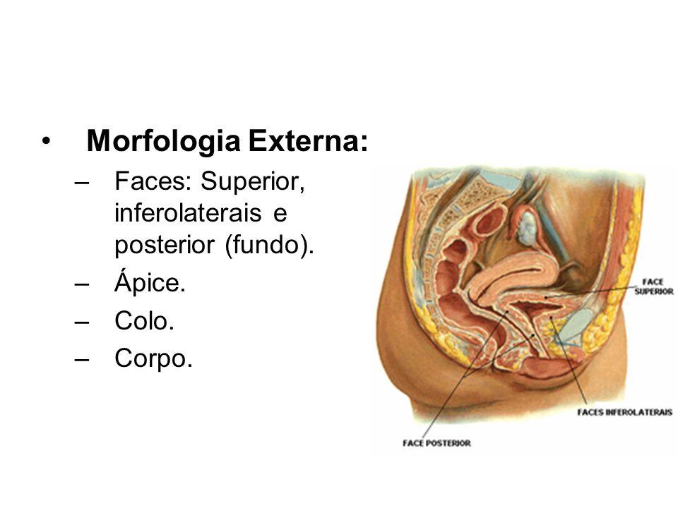 Morfologia Externa: –Faces: Superior, inferolaterais e posterior (fundo). –Ápice. –Colo. –Corpo.