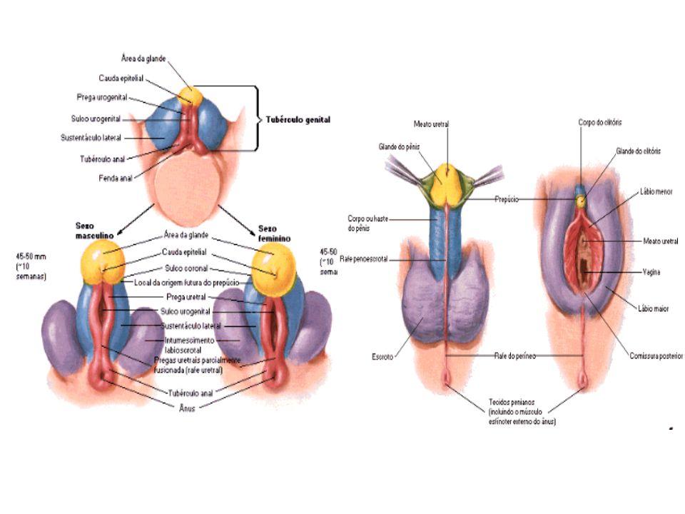 IV – GENITAL EXTERNO: 1.VULVA (pudendo feminino).