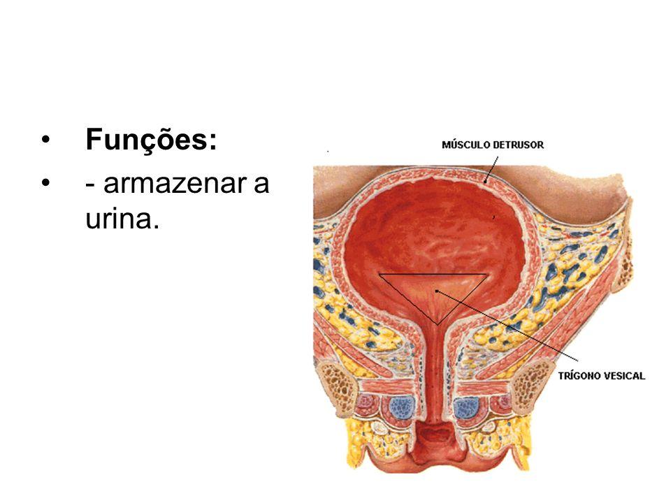 Funções: - armazenar a urina.