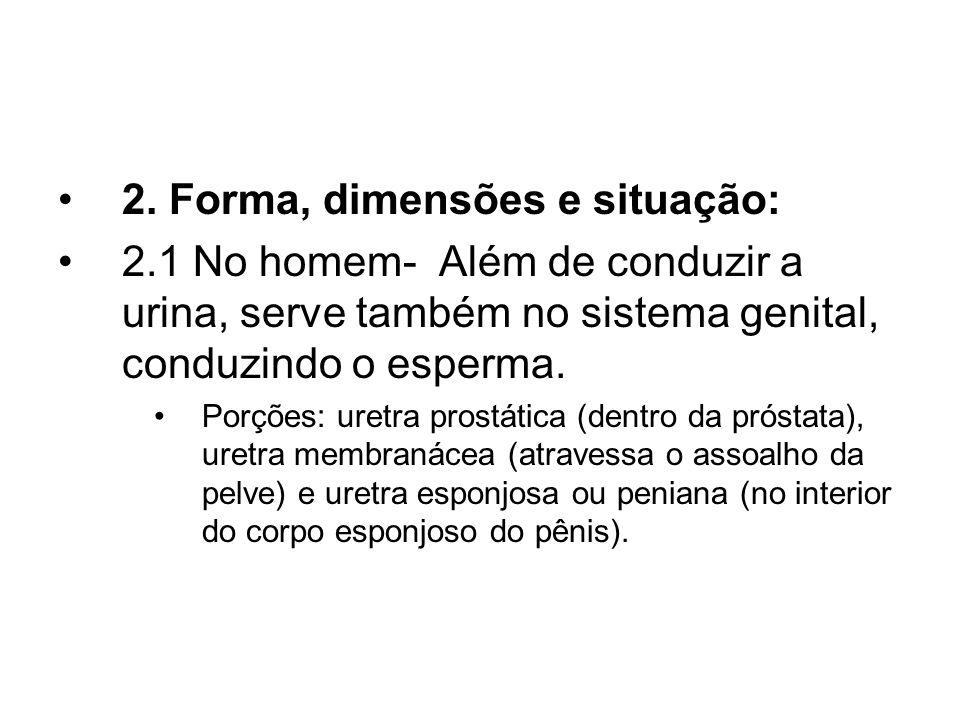 2. Forma, dimensões e situação: 2.1 No homem- Além de conduzir a urina, serve também no sistema genital, conduzindo o esperma. Porções: uretra prostát