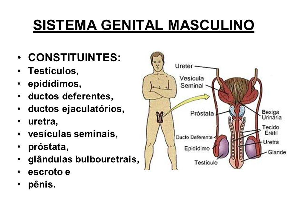 SISTEMA GENITAL MASCULINO CONSTITUINTES: Testículos, epidídimos, ductos deferentes, ductos ejaculatórios, uretra, vesículas seminais, próstata, glândulas bulbouretrais, escroto e pênis.