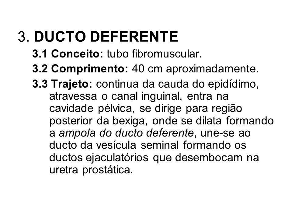 3. DUCTO DEFERENTE 3.1 Conceito: tubo fibromuscular. 3.2 Comprimento: 40 cm aproximadamente. 3.3 Trajeto: continua da cauda do epidídimo, atravessa o