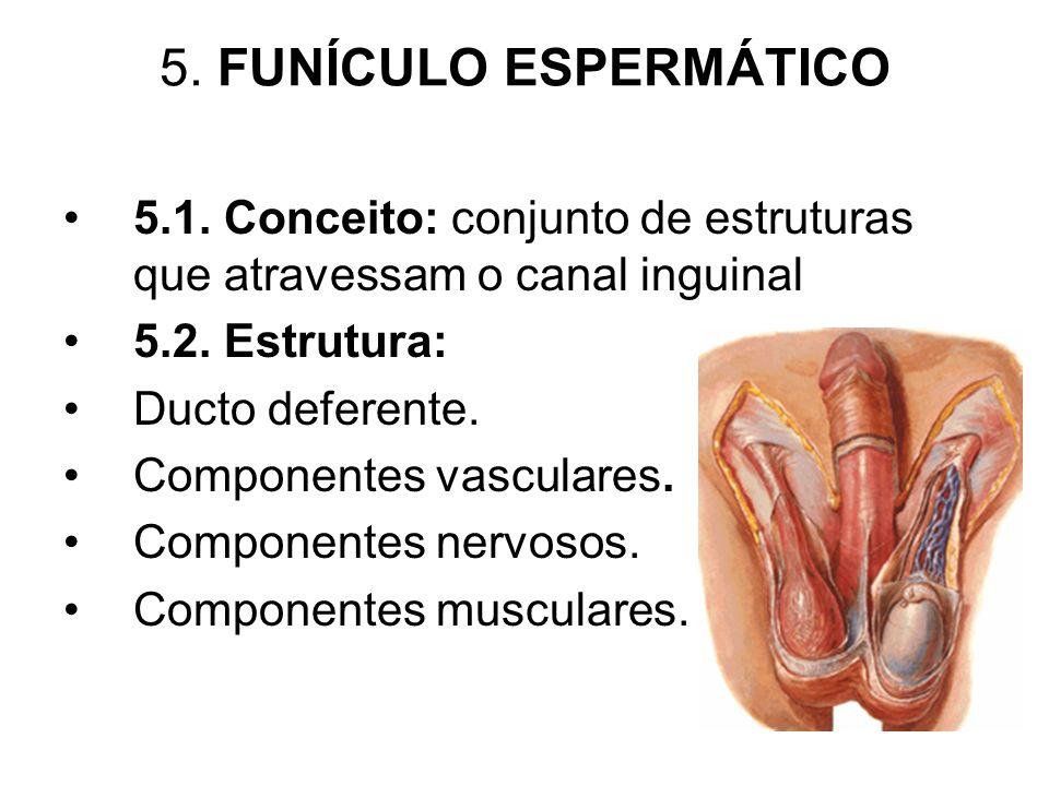 5. FUNÍCULO ESPERMÁTICO 5.1. Conceito: conjunto de estruturas que atravessam o canal inguinal 5.2. Estrutura: Ducto deferente. Componentes vasculares.