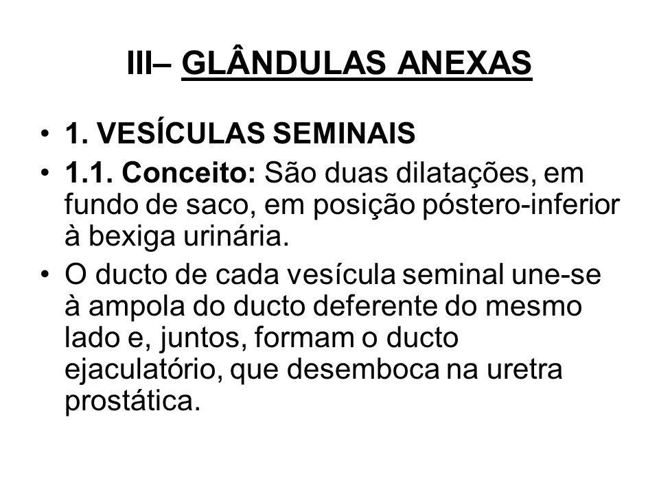 III– GLÂNDULAS ANEXAS 1. VESÍCULAS SEMINAIS 1.1. Conceito: São duas dilatações, em fundo de saco, em posição póstero-inferior à bexiga urinária. O duc