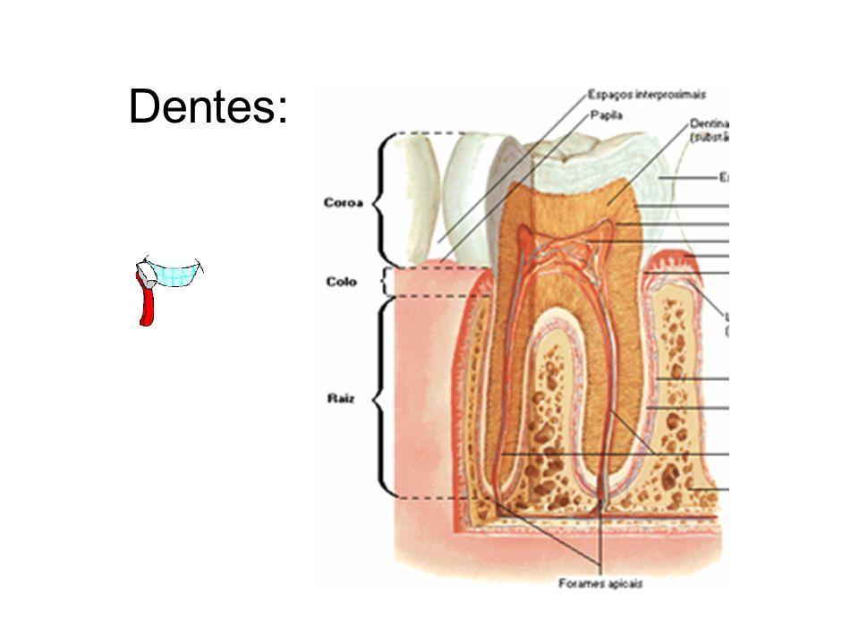 Os dentes são estruturas duras, calcificadas, presas ao maxilar superior e mandíbula, cuja atividade principal é a mastigação.