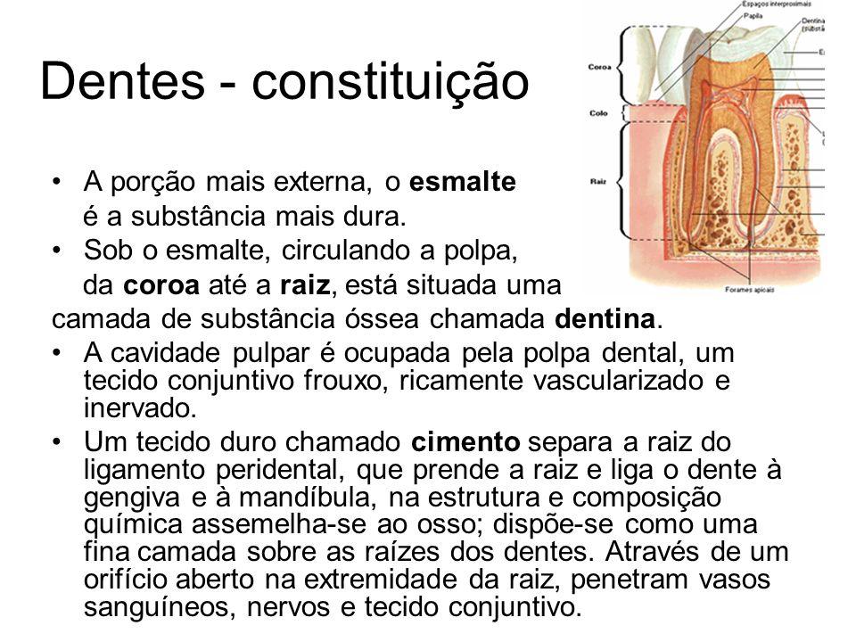 Partes do dente: a.coroa: parte livre. b. colo: entre a raiz e a coroa..