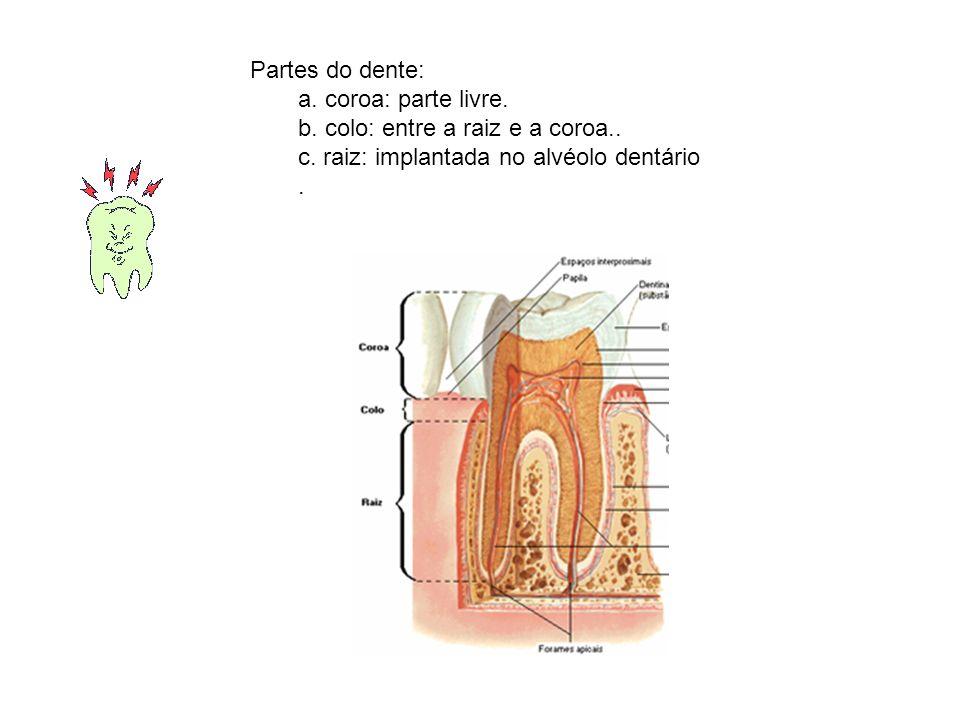 Dentes: Características dos grupos dentais: –a.incisivos (I): são 8; anteriores.